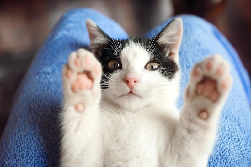 enlever tique chat